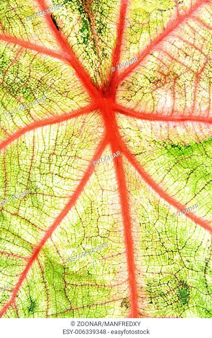 Closeup of a tropical caladium leaf