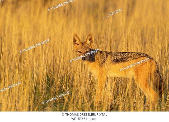Black-backed Jackal (Canis mesomelas). Kalahari Desert, Kgalagadi Transfrontier Park, South Africa