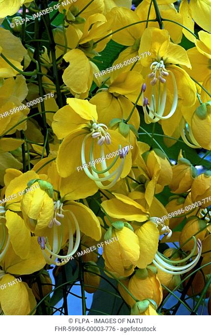 Golden Shower Tree Cassia fistula close-up of flowers, Trivandrum, Kerala, Southern India