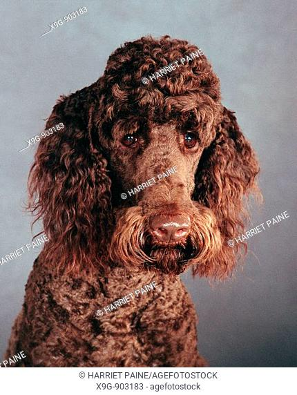 Chocolate Standard Poodle