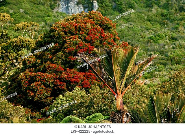 blocked for illustrated books in Germany, Austria, Switzerland: Red flowering Rata tree and native Nikau Palm, Paparoa National Park, west coast, South Island