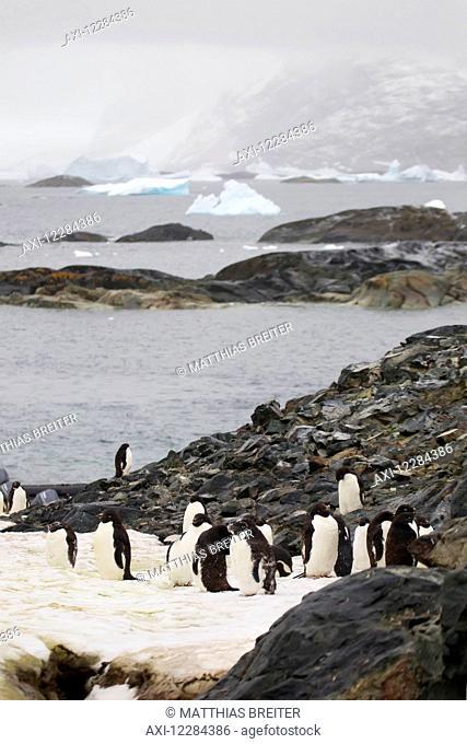 Adelie penguins (Pygoscelis adeliae) on Pleneau Island, Antarctic Peninsula; Antarctica