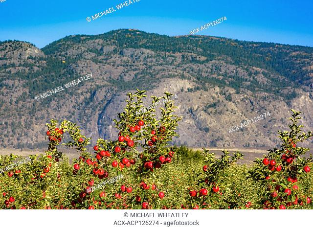 Apples on orchard trees, Osoyoos, Okanagan Region, British Columbia, Canada