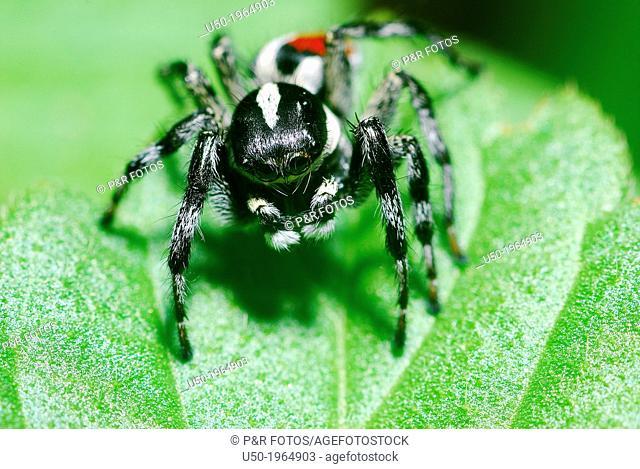 Male Jumping spider. Salticidae, Araneida, Arachnida