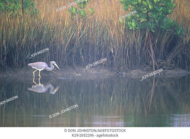 Tri-coloured heron (Egretta tricolour) Hunting in lagoon, Bradenton, Florida, USA