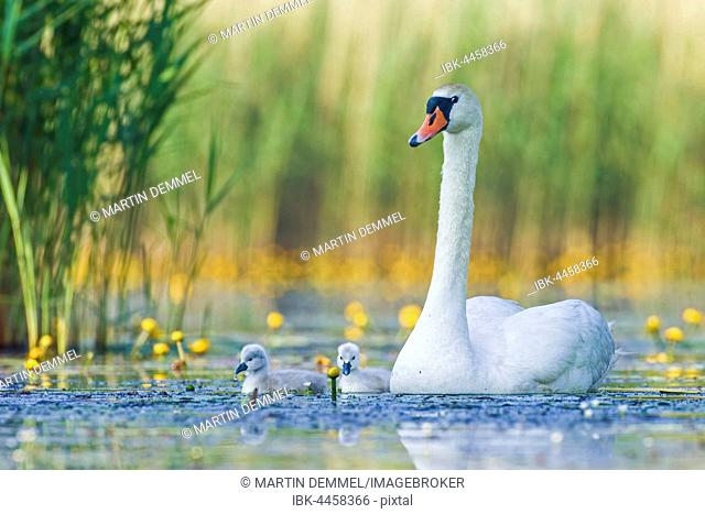 Mute swan (Cygnus olor) with cygnets in the water, Saxony-Anhalt, Germany