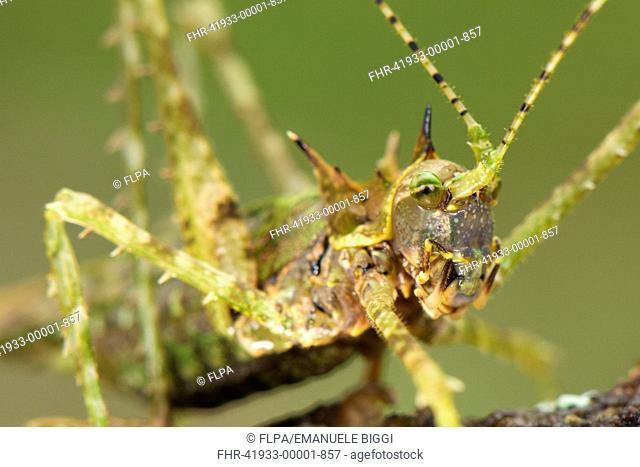 Moss Katydid Campionica montana adult, close-up of head, Manu Road, Departemento Cusco, Andes, Peru