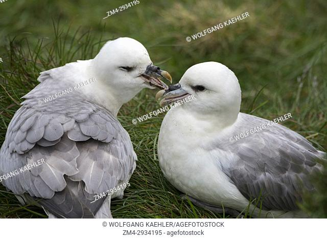 A Northern fulmar (Fulmarus glacialis) pair is pair bonding at the seabird colony near Borgarfjordur in eastern Iceland