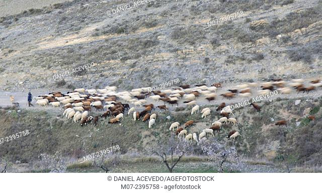 Shephered and sheep flock, Linares valley, Cornago, Biosphere reserve, La Rioja baja region, Spain, Europe