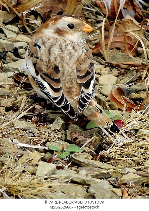 A snow bunting, Plectrophenax nivalis, has found a comfortable spot on the ground to rest, Pennsylvania, USA