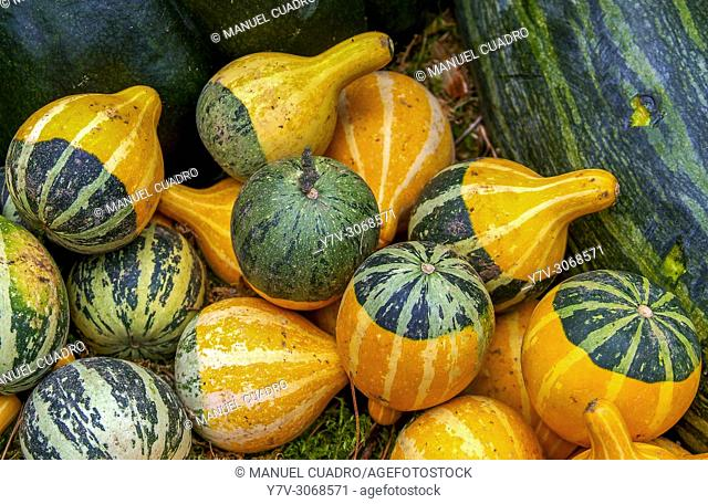 Gourds displayed in the Caserio (farm) produce market held on the last Monday of October in Gernika, Biscay, Basque Country, Spain