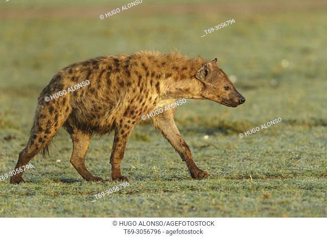 Spotted hyena. Crocuta crocuta. Kenia. Africa