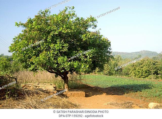 Cashew tree in sunlight
