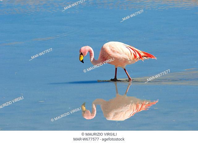 fenicottero di james, laguna hedionda, fenicotteri, riserva eduardo avaroa, los lipez, altopiano, bolivia, america del sud