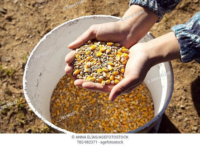woman's hands grabbing a bucket organic maize to feed the pigs in a pig farm in Huelva ecologica,manos de mujer cogiendo maiz ecologico de un cubo para dar de...
