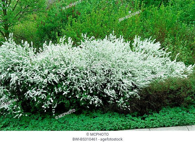 Garland Wreth (Spiraea x arguta, Spiraea arguta, Spiraea multiflora x Spiraea thunbergii), blooming