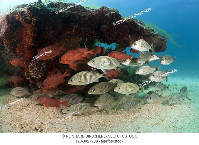 Spottail Grunts and Soldierfishes at Swanee Wreck, Haemulon maculicauda, La Paz, Baja California Sur, Mexico