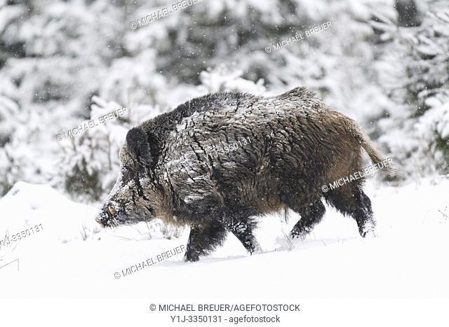 Wild boar (Sus scrofa) in wintertime, Tusker, Bavaria, Germany, Europe