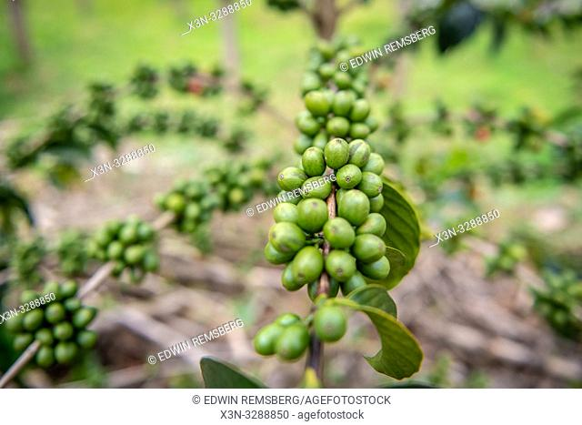 Unripe coffee beans growing on tree in Rwanda