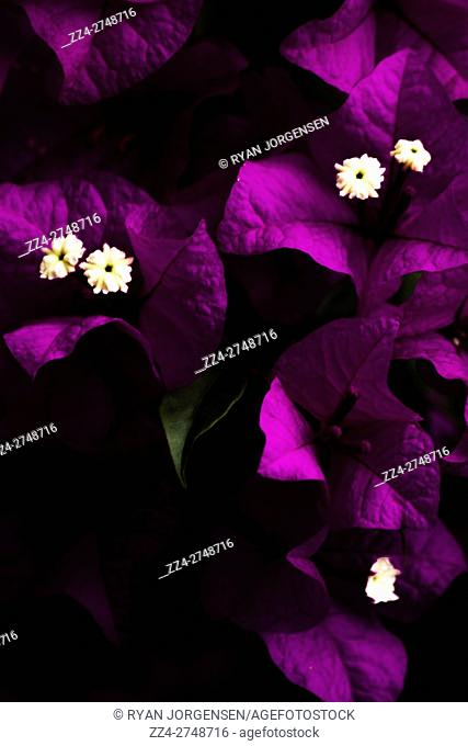 Shadowed nature macro photo on purple leaved Bougainvillea flowers (Bougainvillea glabra) in a cluster of botanical beauty. Flowers of night
