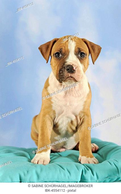 Old american staffordshire terrier Stock Photos and Images