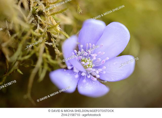 Close-up of a Common Hepatica (Anemone hepatica) blossom in a forest in spring