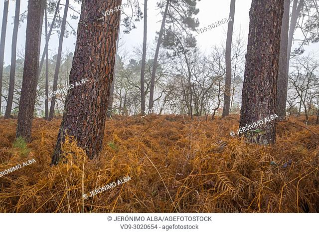 Pine wood forest. Le Gers Department, New Aquitaine, Midi Pyerenees. France Europe