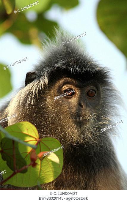 Silvered leaf monkey (Presbytis cristata, Trachypithecus cristatus), portrait, Malaysia, Sarawak, Bako National Park