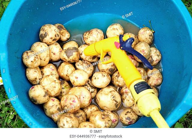 Potatoes in plastic bowl closeup. Agriculture concept