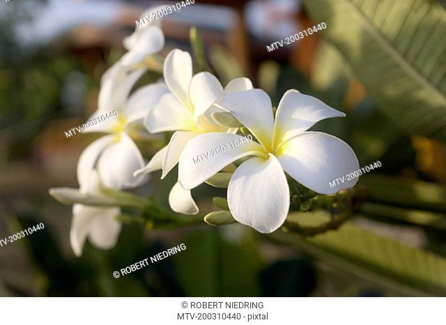 Close up of white frangipani, Yala national park, Western Province, Sri Lanka