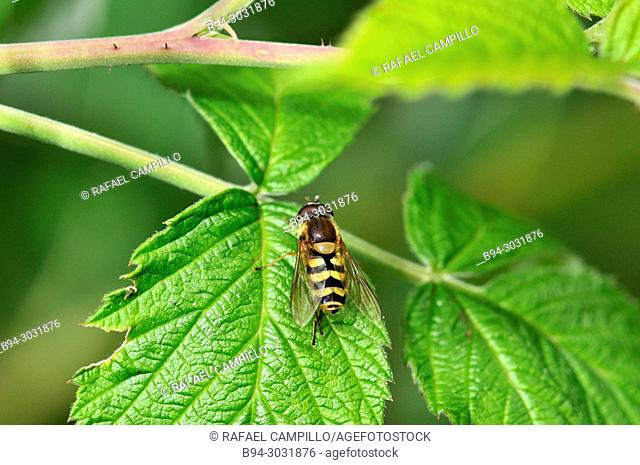 Zoology. Insect. Wasp (fam. Vespidae). Andorra. Europe