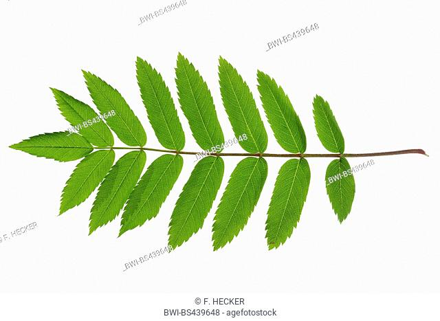European mountain-ash, rowan tree (Sorbus aucuparia), single leaf, cutout