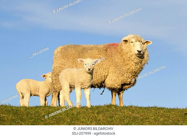 Domestic Sheep. Ewe with two lambs on a dyke. Germany