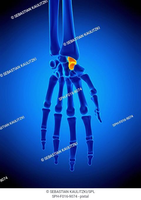 Illustration of the scaphoid bone