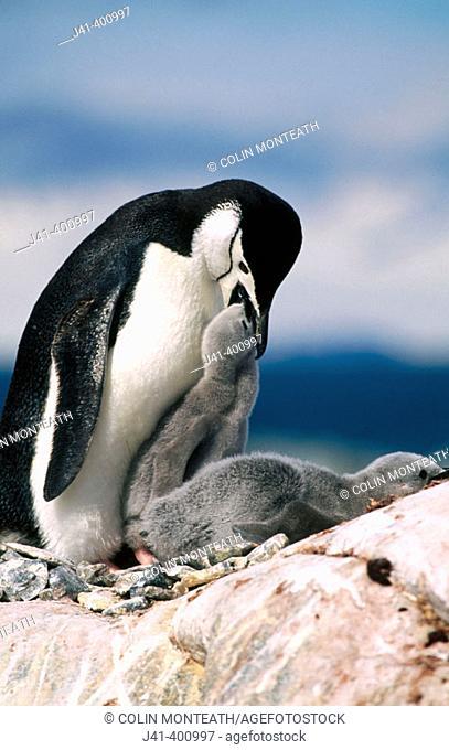 Chinstrap Penguin (Pygoscelis antarctica) and twin chicks. Antarctic peninsula