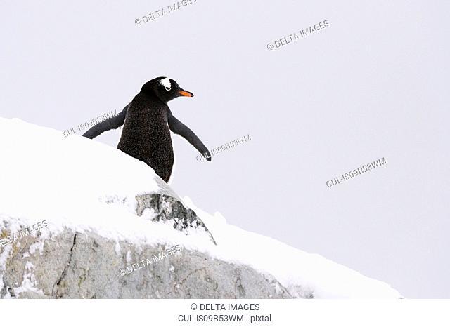 Gentoo penguin (Pygoscelis papua), Petermann Island, Antarctica