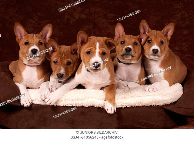Basenji. Five puppies (7weeks old) lying on a pet bed. Studio picture against a brown background. Germany