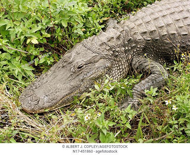 Florida Everglades, alligator