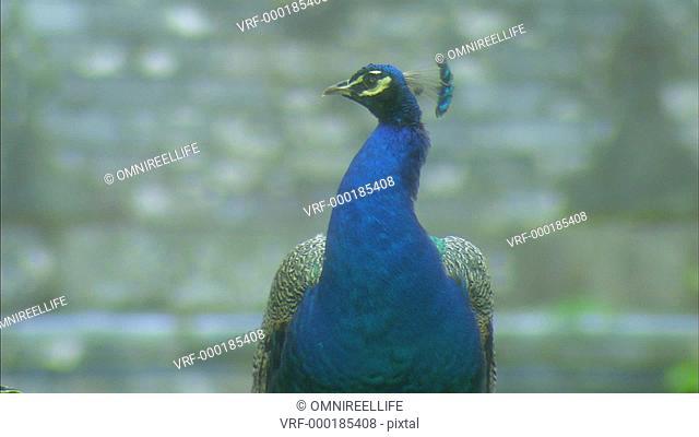 Close up of Blue Peacock facing camera