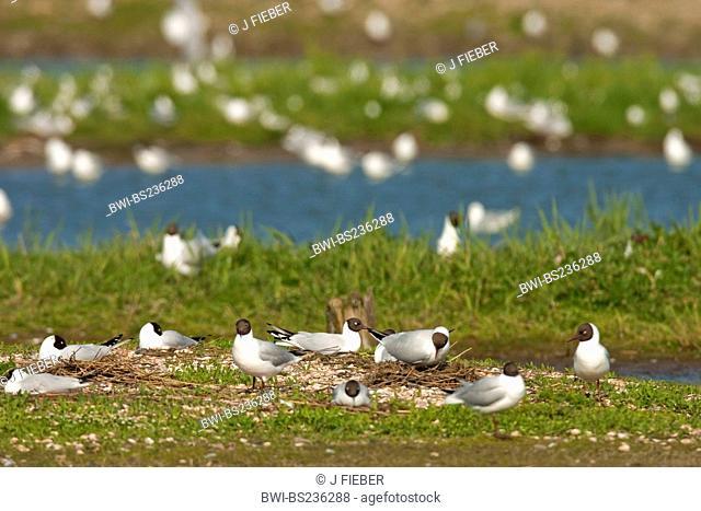 black-headed gull Larus ridibundus, nesting colony, Netherlands, Texel