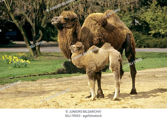 Camelus Bactrianus Bactrian Camel Two Humped