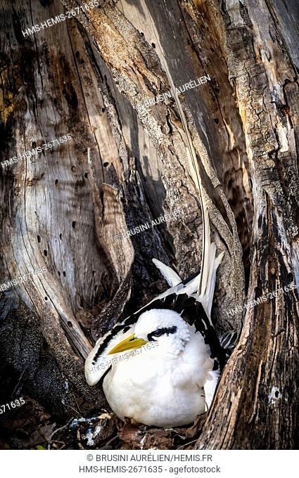 Seychelles, Bird Island, Yellow-billed Phaeton (Phaethon lepturus) on its ground nest in the hollow of an old tree