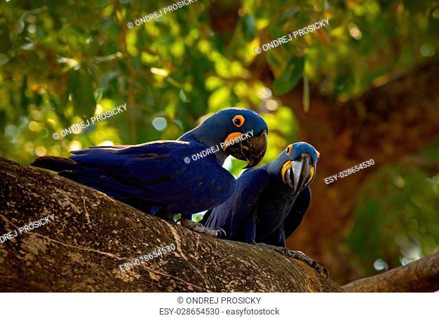 Pair of rare bird, blue parrot Hyacinth Macaw