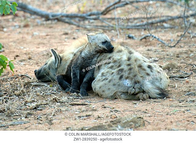Spotted Hyena (Crocuta crocuta) aka Laughing Hyena with young cub, Kruger National Park, Transvaal, South Africa