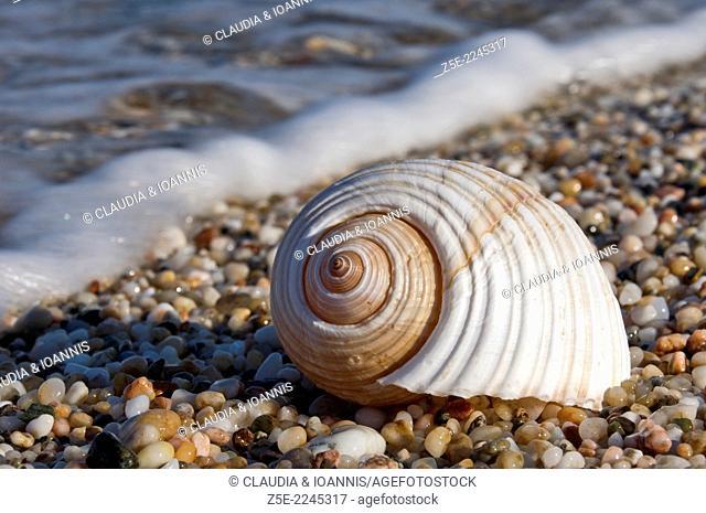 Giant tun shell on beach - Pelion Peninsula, Thessaly, Greece