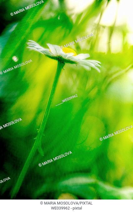 Shasta Daisy. Leucanthemum x superbum. Maryland, USA, June 2006