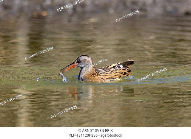 Water rail (Rallus aquaticus) in shallow water with caught fish prey in beak in wetland / marsh / marshland
