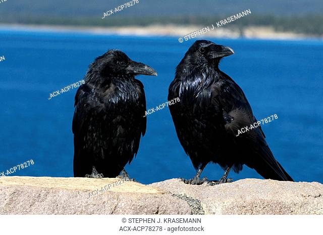Two Common Ravens perched on rock with lake in the background. (Corvus corax), Yellowstone Nat'l Park, WY, USA