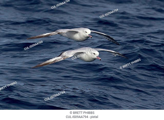 Two Southern Fulmar birds glide above the waves, Macquarie Island, Southern Ocean