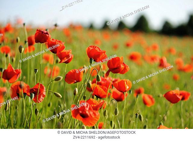 A field of flowerig Corn poppies (Papaver rhoeas) in a corn field in summer